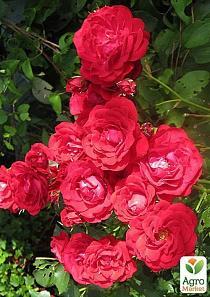 Розы почтой.недорого.